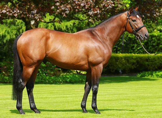 stallion 1
